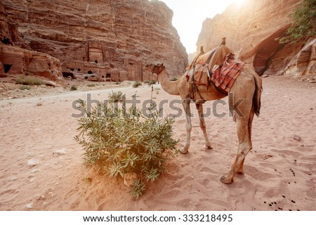 Camels at the ancient site of Perta. The main tourist destination in Jordan - stock photo