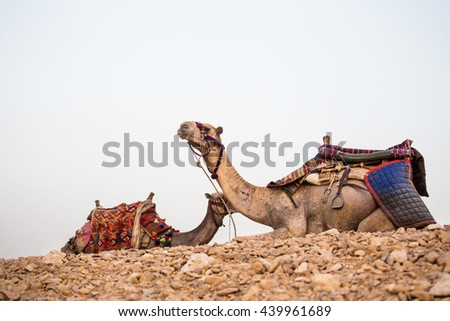 Camels desert egypt. Two camels portrait with a saddle on the background of distant hot desert. The desert day trip - stock photo