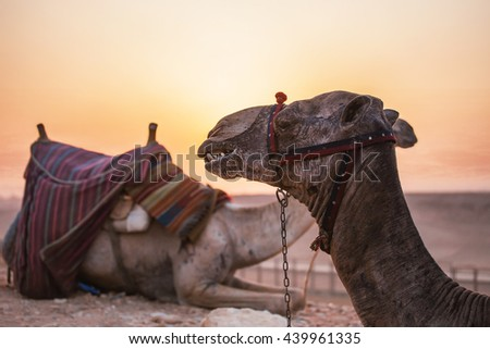 Camels desert sunset. Two camels portrait with a seat on the background of sunset in the distant hot desert. Desert trip - stock photo