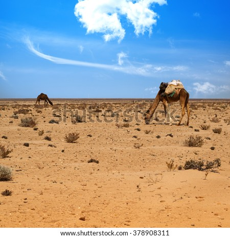 Camels eating in the desert - stock photo