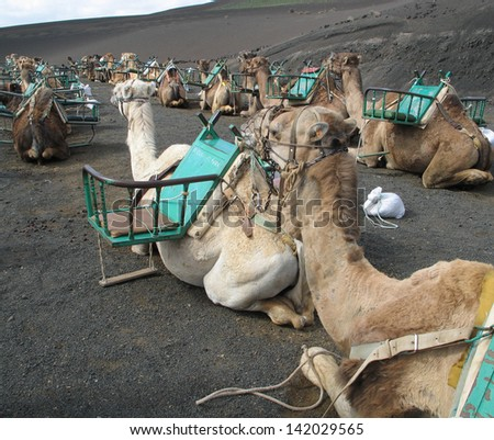 camels for rent to tourists on Lanzarote on the Canary Islands