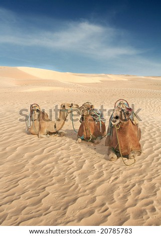 Camels gossip in the Sahara whilst they wait for the next Human to come along - stock photo
