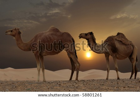 Camels in a Dubai Desert Camel Farm - stock photo