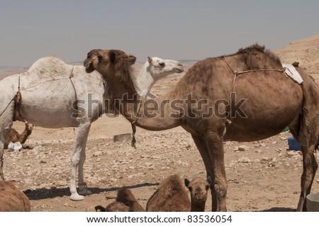Camels in Jordan - stock photo