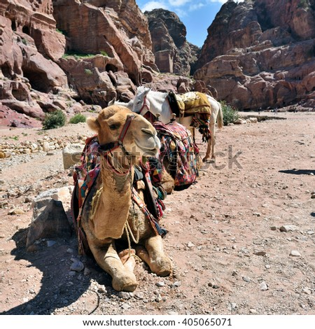 Camels in Petra, lost city in Jordan. Famous UNESCO heritage site - stock photo