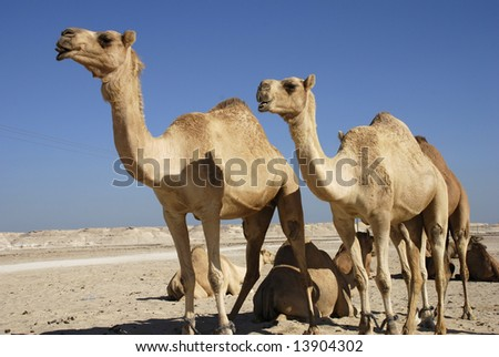camels in the desert - stock photo
