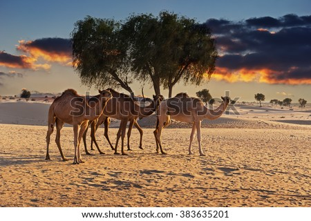 Camels in the desert at sunset of Dubai