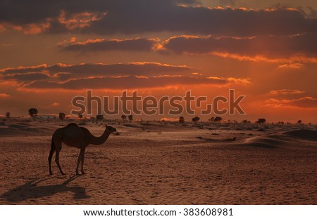 Camels in the desert Dubai - stock photo