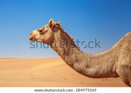 Camels in the desert of Dubai - stock photo