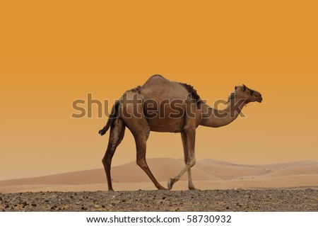 Camels in the Dubai Desert - stock photo
