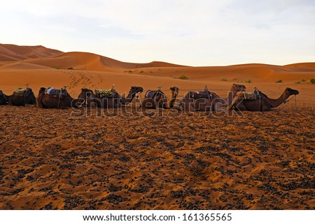 Camels in the Erg Chebbi desert in Morocco Africa at sunset - stock photo