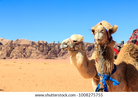 Camels in the middle of the Wadi Rum desert in Jordan with rocks in the background