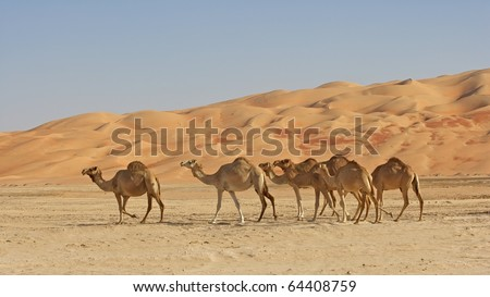 Camels in the Rub al Khali or Empty Quarter. Straddling Oman, Saudi Arabia, the UAE and Yemen, this is the largest sand desert in the world. - stock photo