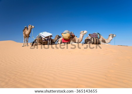 Camels in the Sand dunes desert of Sahara, South Tunisia - stock photo