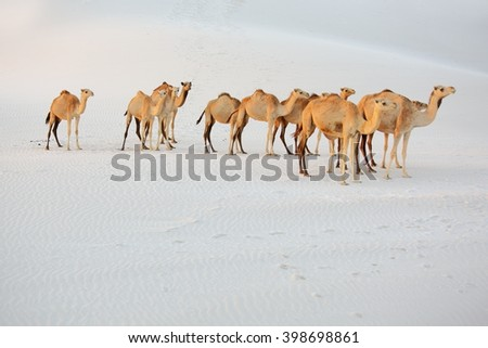 Camels in the white sand desert