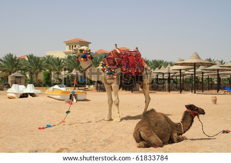 Camels on egyptian beach
