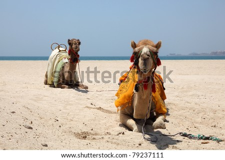 Camels on the beach in Dubai, United Arab Emirates