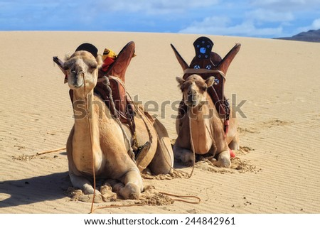 Camels on the beautiful tropical paradise island, Cape Verde - stock photo