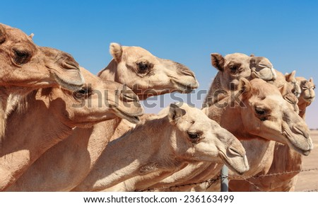 Camels on the farm - stock photo