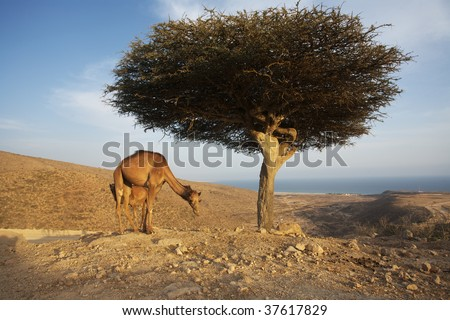 camels on the hill - stock photo