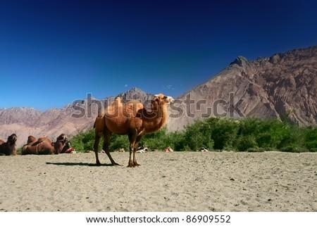 Camels on the Nubra Valley. Ladakh. India - stock photo