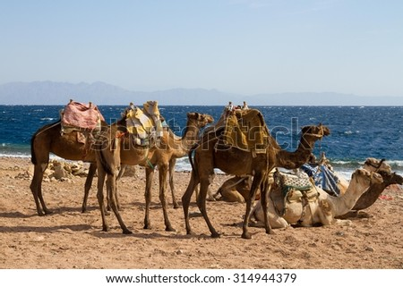 Camels 'parked' on the beach ready to transport tourists to  the Blue Hole, a wonderful diving spot near Dahab in Egypt, on the Red Sea, Sinai peninsula.