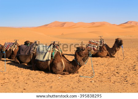 Camels resting at the foot of the Erg Chebbi Dunes at Merzouga in the Sahara desert, Morocco, Africa  - stock photo