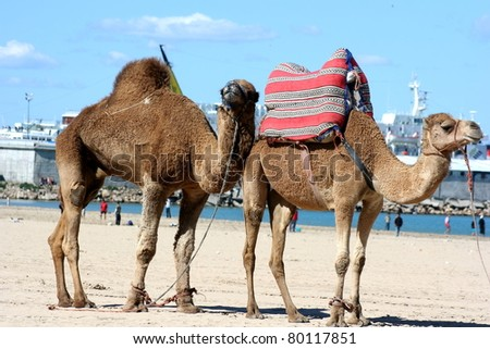 Camels resting on the ground under the summer sun in Morrocco.