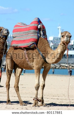 Camels resting on the ground under the summer sun in Morrocco. - stock photo