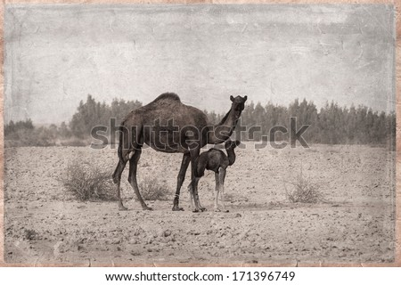 Camels - retro - In the Qatar desert, Old Postcard style