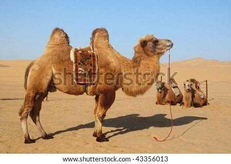 Camels standing and resting in the desert - stock photo