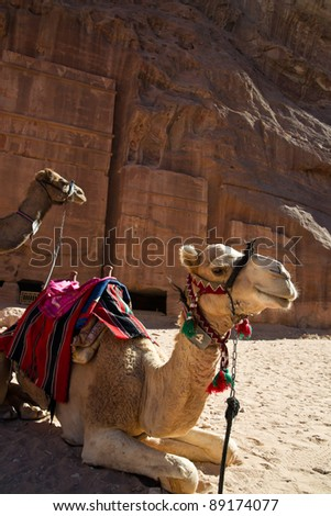 Camels waiting for tired explorers in tha ancient city of Petra in Jordan. - stock photo