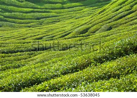 cameron highlands tea plantation area - stock photo