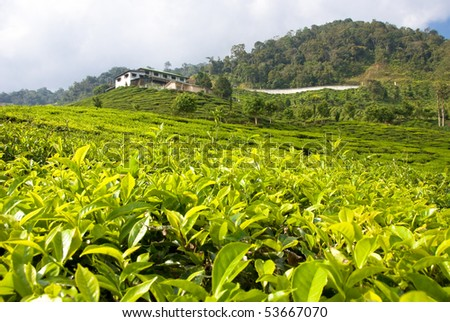 cameron highlands tea plantation area - stock photo