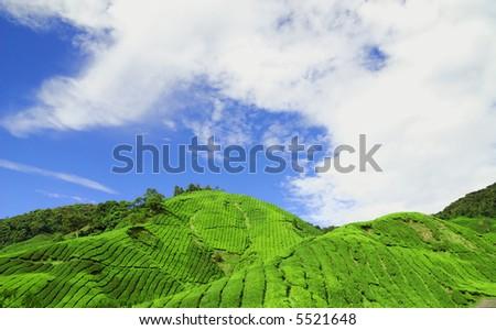 Cameron Highlands Tea Plantation fields. In a sunny blue sky day. Shot taken in Cameran Highland, Malaysia - stock photo