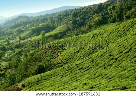 Cameron Highlands Tea Plantation scenery - stock photo