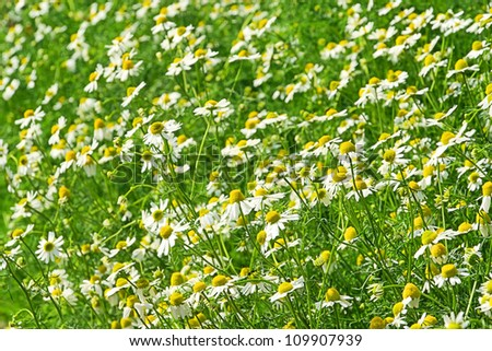 camomile - stock photo