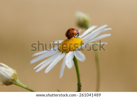 camomile and ladybug - stock photo
