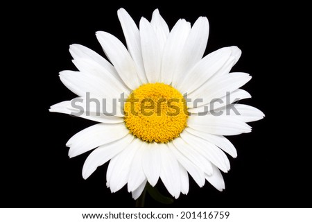 Camomile. Beautiful  daisy on black background. Nice wallpaper, greeting card with amazing white flower - stock photo