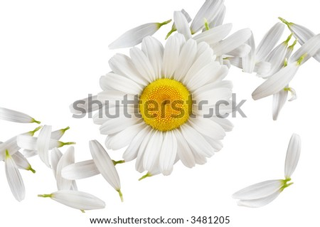 Camomile bloom among petals as abstract concept. Isolated on white background. - stock photo