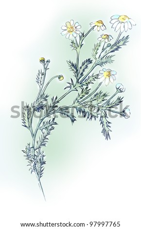 Camomile. Drawing pencils. - stock photo