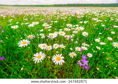 camomile field on a warm summer day - stock photo