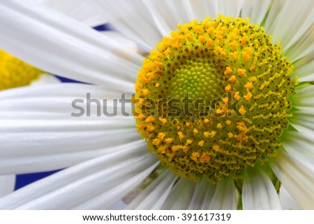 Camomile flower close up - stock photo