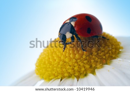 camomile flower with ladybug under blue sky
