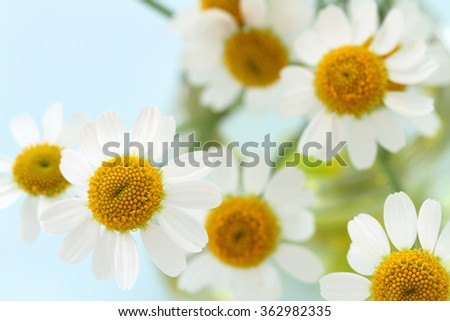 Camomile flowers - stock photo