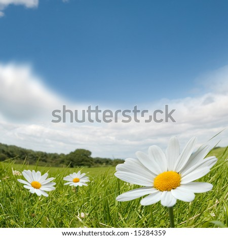 Camomile flowers on a lovely summers day. - stock photo