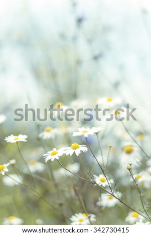 Camomile flowers with bokeh on background. Low aperture shot, selective focus - stock photo