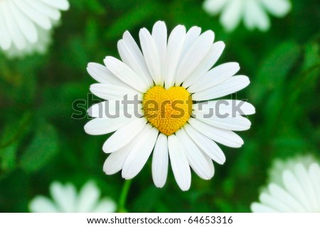 camomile heart in green background. Flower symbol of love - stock photo