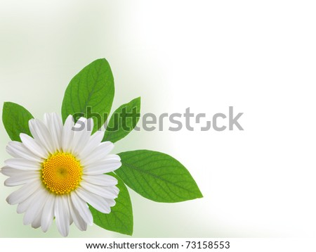 camomile isolated on white background with with room for text - stock photo