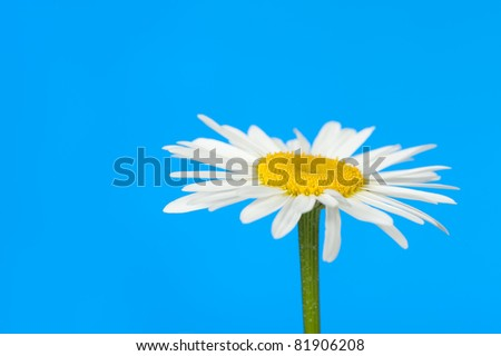 Camomile. It is isolated on a blue background